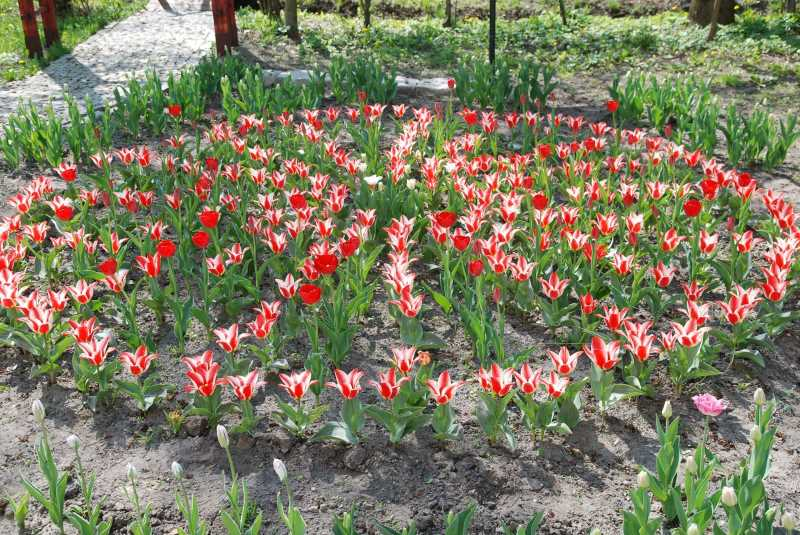 tulipany-przed-gdkzb