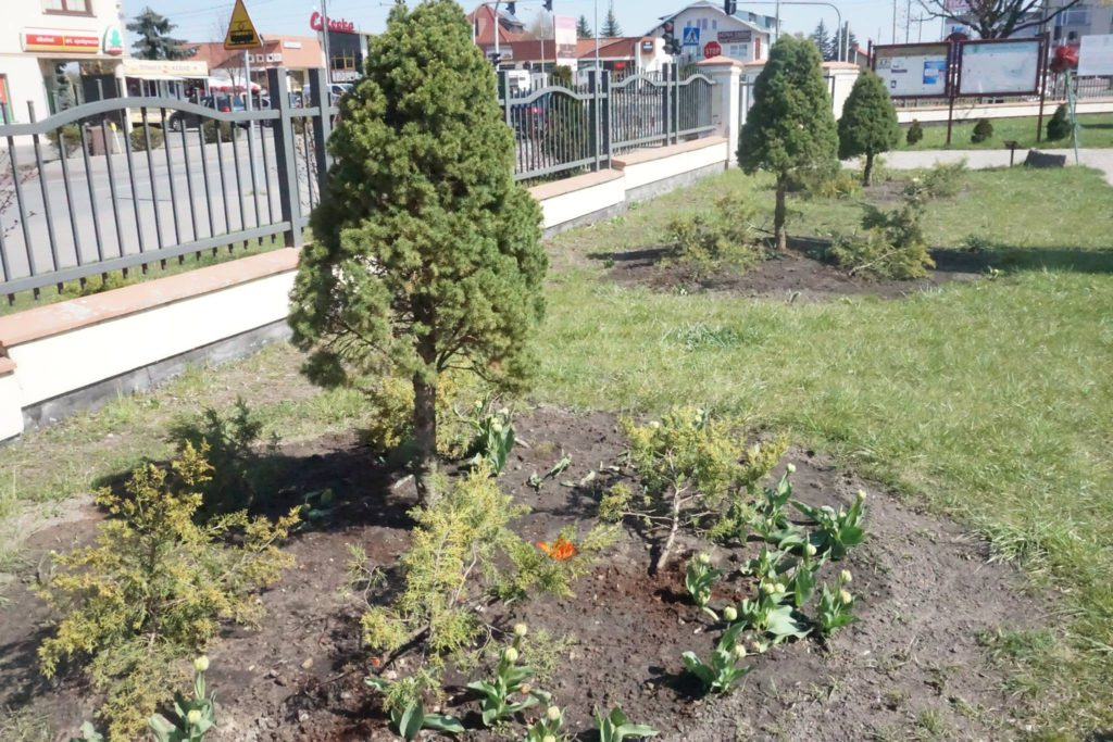 krzewy wokół Domu Kultury