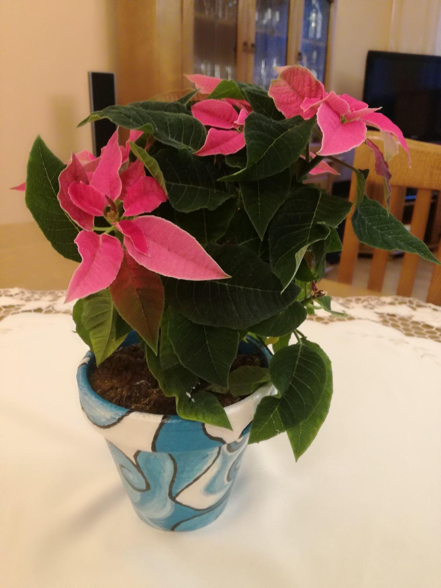 doniczka z kwiatem, gwiazda betlejemska