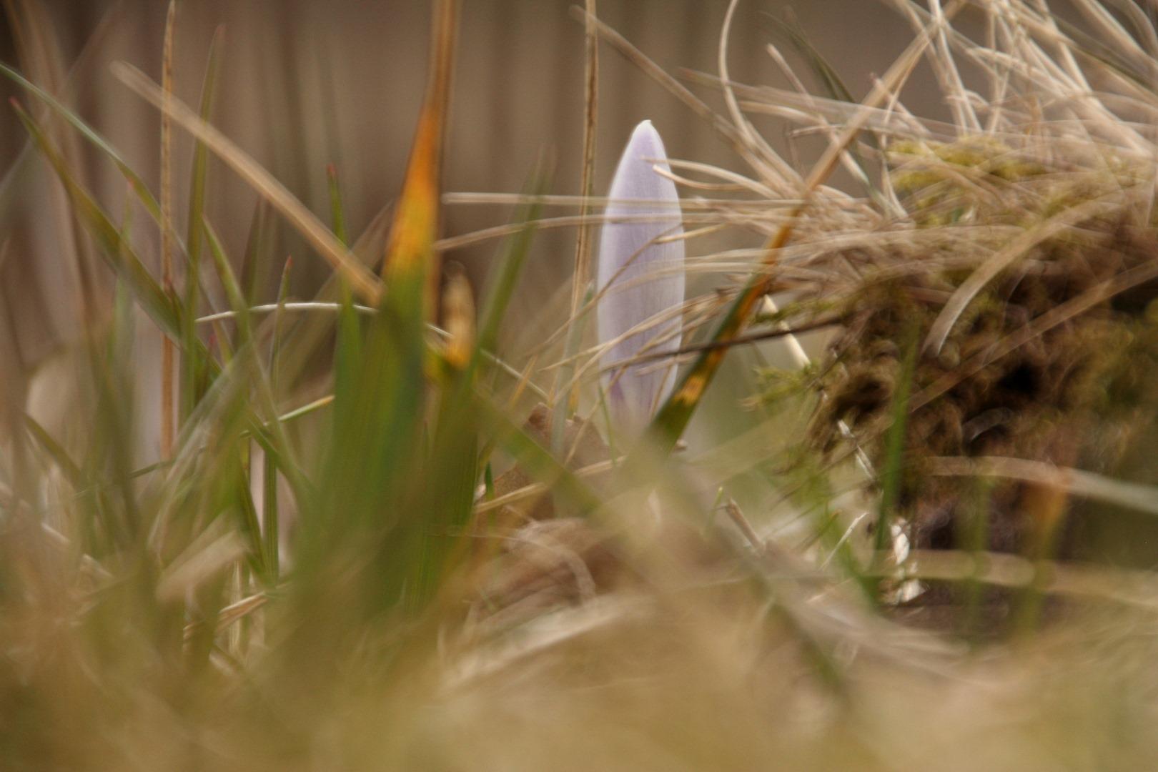 mały krokus przysłonięty źbłami trawy