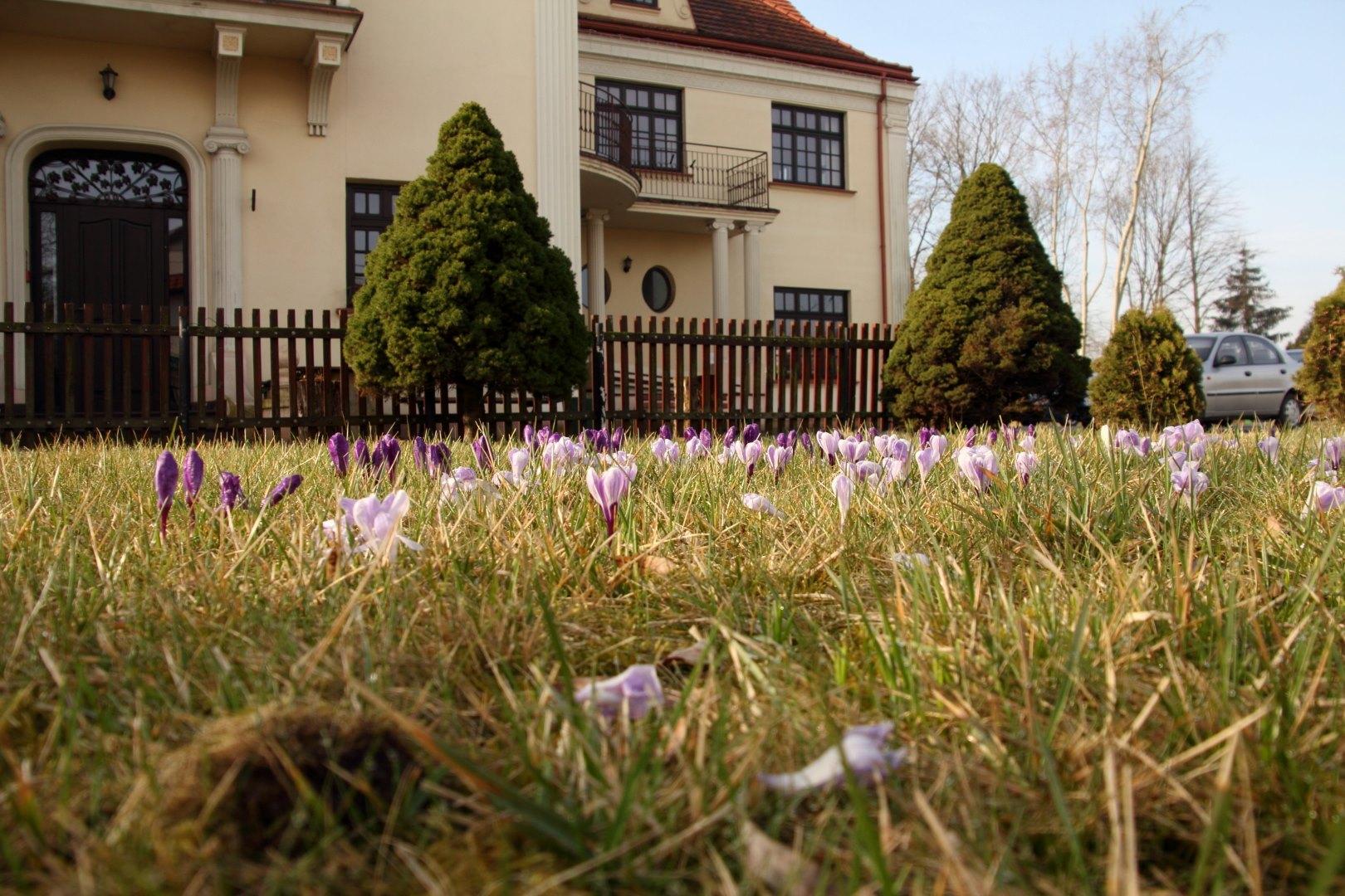 budynek domu kultury, na pierwszym planie trawnik z krokusami
